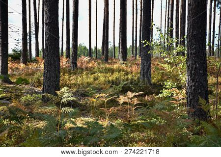 Beautiful Colors On The Ground In A Bright Pine Tree Forest