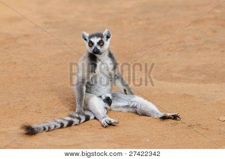 Ring Schwanz Lemur auf dem Boden saßen