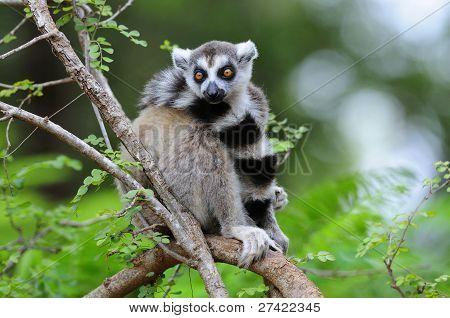 Ring Schwanz Lemur in einem Baum