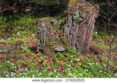 Old Rotten Stump In The Spring Forest. Young Grass And Primroses Around, Moss On The Stump