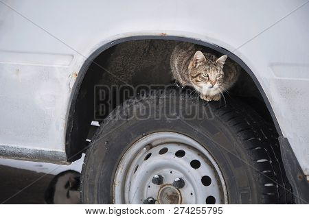 Stray Street Cat On Car Wheel. Homeless Cat Hiding Looking For Warmth In Cold Weather (life In Dange