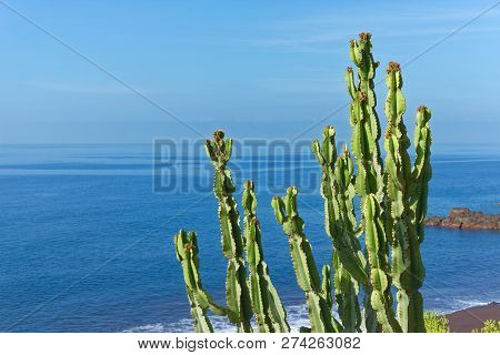 Branches Of Cactus Plant On The Coastline Against Blue Water And Sky. Portuguese Island Of Madeira