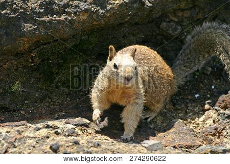 Close Up Of A Common California Ground Squirrel Leaving Its Rocky Burrow On The West Coast Of The Us