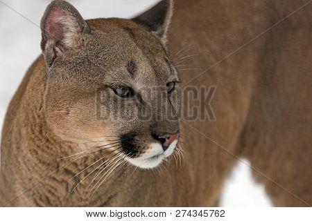 Close Portrait Of A Cougar, Mountain Lion