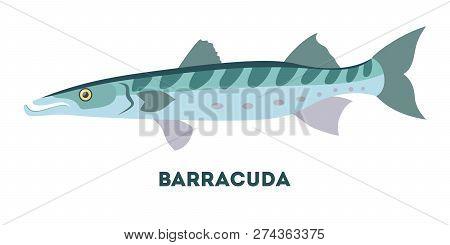 Barracuda Marine Creature. Fish From The Ocean