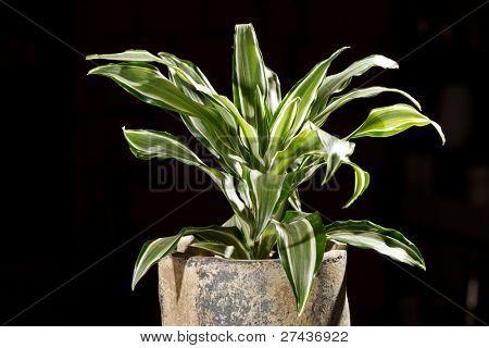 dracaena in the pot