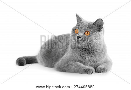 British Shorthair Gray Cat Lies On A White Background. Resting A Pet On Isolation. Harvesting, Templ