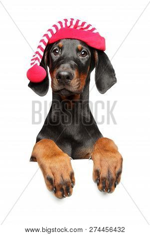 Young Doberman In Santa Red Hat Above Banner, Isolated On White Background. Christmas Animals Theme