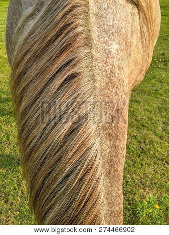 Front View Of Roan Coated Horse Mane, With Pasture In Background