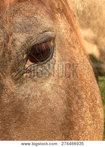 Close Front Three Quarter View Of The Brown Eye Of A Roan Colored Horse.