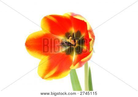 Vivid Alone Tulip