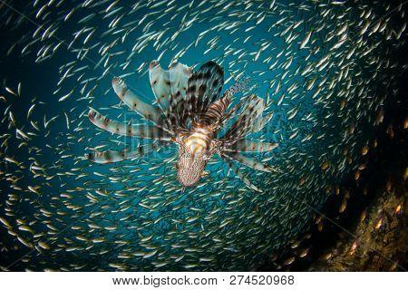 Lionfish hunting school of silversides fish