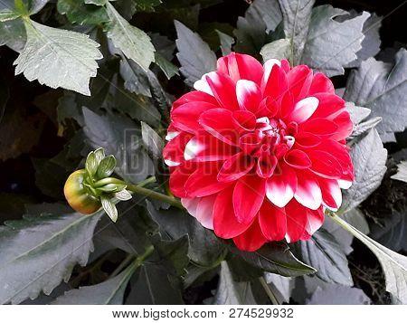 Zonguldak Turkey In The Winter Months Of  Dahlia Flower