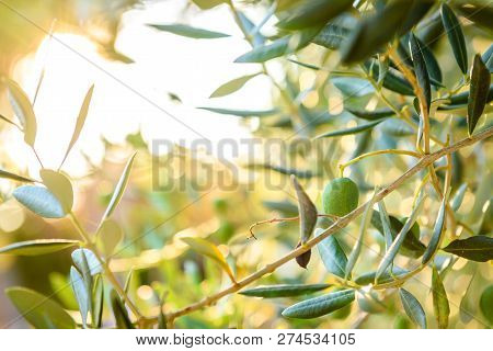 Olives On Olive Tree Branch With Sunshine In Background.