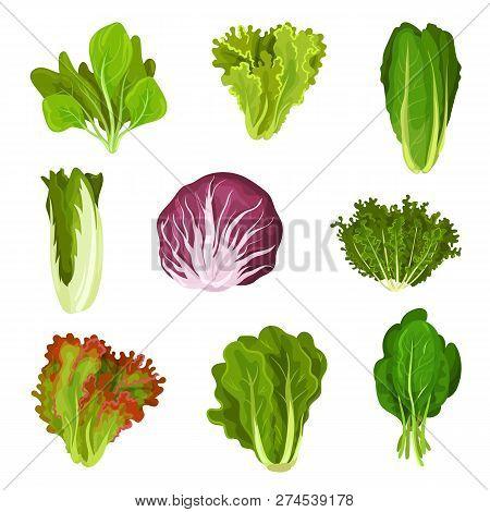 Collection Of Fresh Salad Leaves, Radicchio, Lettuce, Romaine, Kale, Collard, Sorrel, Spinach, Mizun