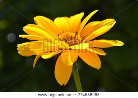 Close-up Of A Single Blooming Yelow Heliopsis On The Green Blurred Background, Selective Focus