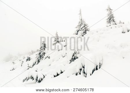 Winter Forest, White Trees Inspiring Landscape. Deep Powder Snow On Pine Trees. Beautiful Inspiratio