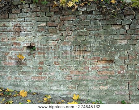 An Old Brickwall With Withered Climbing Plant, Close Up View. Yellow Leaves Near Brickwall In Autumn