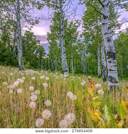 Dandelions And Quaking Aspens Against Cloudy Sky