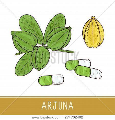 Arjuna. Fruit, Leaves, Capsule. Sketch. Set. Color