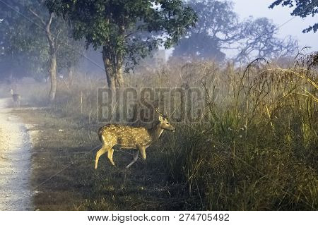 Young Chital Or Cheetal (axis Axis), Also Known As Spotted Deer Or Axis Deer Male Walking In The Fog