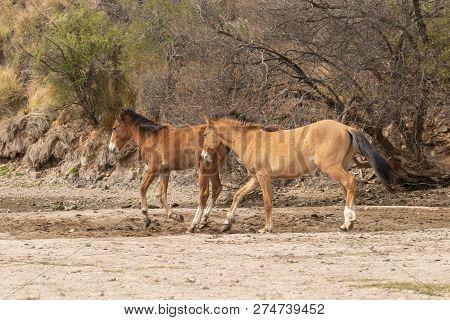 Beautiful Wild Horses Along The Salt River In The Arizona Desert