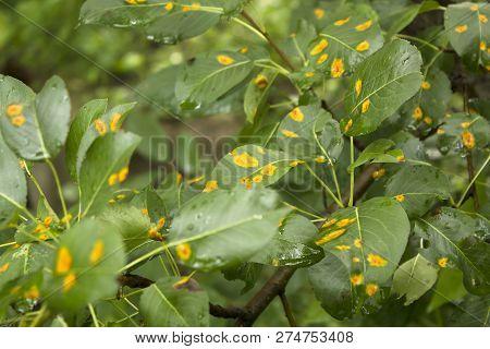 Orange Disease Spots On A Fruit Tree Leaves. Agrocultural Disease Close Up