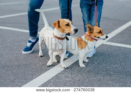 Outdoor Shot Of Two Pedigree Dogs On Leashes Have Walk, Unrecognizable People Stand Near, Pose On Ro