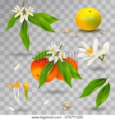 Set Of Elements Of Structure Of Mandarin Or Tangerine Citrus Plant. Flower, Petals, Fruit, Leaves, T