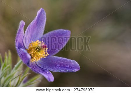 Spring Pasqueflower (pulsatilla Vernalis) Flower. Spring Background Of Wild Purple Flower Copyspace