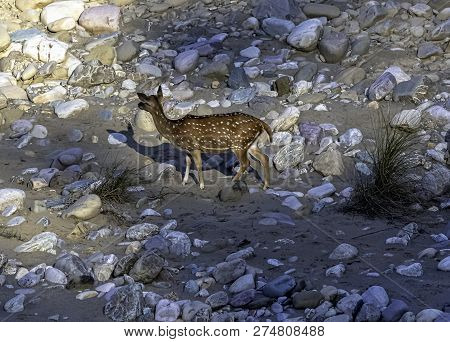 Chital Or Cheetal (axis Axis), Also Known As Spotted Deer Or Axis Deer Female On The Rocks In Jim Co