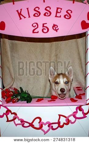 Siberian Husky Dog In A Kissing Booth. Theme Of Valentines Day And Dog Humour. Great For Concepts