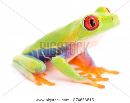 Agalychnis callidryas or the red eyed monkey tree frog, from the rain forest of Panama and Costa Rica isolated on white.