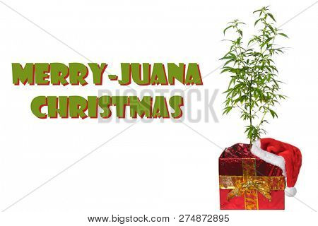 Marijuana Christmas gift. Merry - Juana Christmas text. Marijuana Plant in a Christmas Gift box with a red Santa Hat. Isolated on white. Room for text.