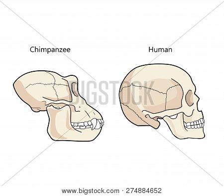 Human And Chimpanzee Skull Biology And Anatomy Vector Illustration. Comparative Primate Anatomy. Com