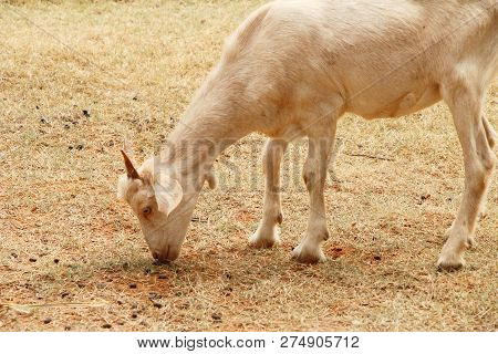Goats In The Farm With The Nature