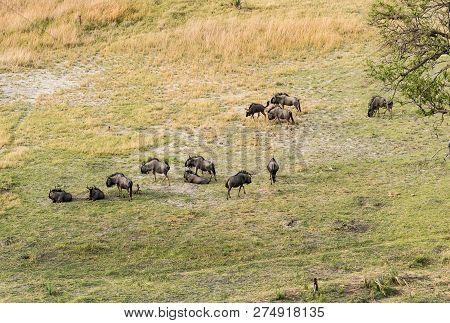 Aerial view of running blue wildebeest, common wildebeest or brindled gnu in bush grasslands in Delta Okavango, Botswana, Africa poster