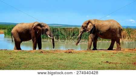 Beautiful National Parks Of Africa. Elephants At A Watering Hole. Stunning Photo Of An Elephant Gree