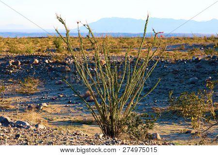 Ocotillo Cactus And The Creosote Bush On A Sandy Plain Taken At The Colorado Desert In Anza Borrego