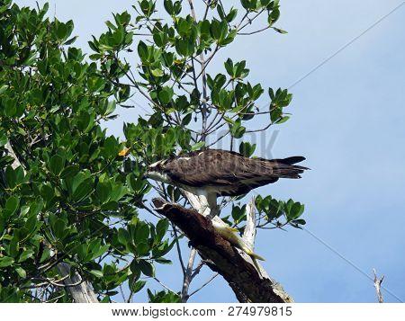 Osprey Eating Fish Ding Darling Wildlife Refuge Sanibel Florida