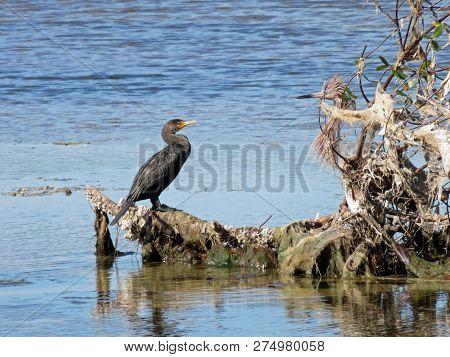 Cormorant And Reddish Egret Ding Darling Wildlife Refuge Sanibel Florida