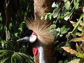 This East African Crowned Crane was so majestic to see upclose in a zoo in the Bahamas. poster
