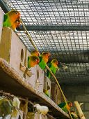 aviculture, a group of lovebirds together in the aviary, small tropical parrots from africa poster