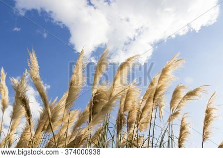A Fluffy Reed Panicles Glowing In The Sun Against Blue Sky. Yellow Thickets Of Dry Reeds On The Wind