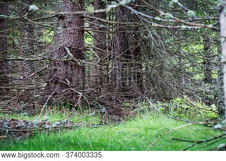 Larch Tree Forest, Coniferous Tree With Bizarre Twigs