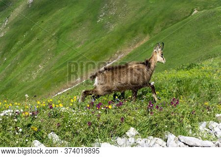 Tatra Chamois (rupicapra Rupicapra Tatrica) In The Natural Environment. Tatry.