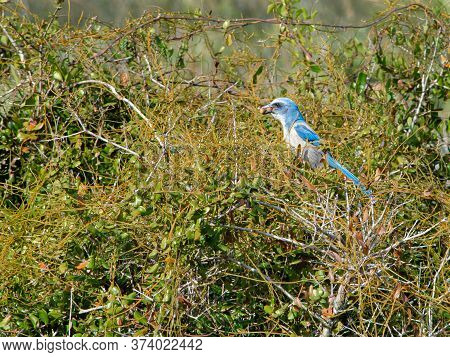 Solitary Endangered Florida Scrub-jay Feeding In The Brush With His Beak And Throat Filled With Seed