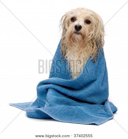 A wet cream havanese dog after the bath with a blue towel isolated on white background poster