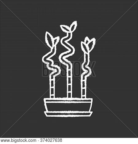 Lucky Bamboo Stems In Pot Chalk White Icon On Black Background. Dracaena Sanderiana. Indoor Exotic P
