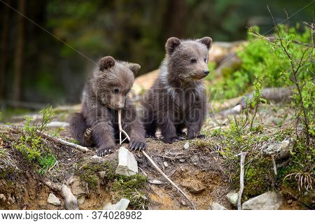 Two Little Brown Bear Cub Are Playing In Summer Forest